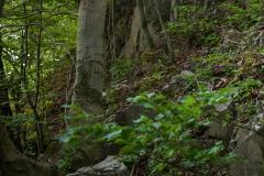 Wygląd lasu - stanowiska gdzie występują cyklameny zgóry Miłek