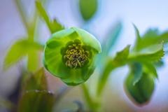 Ciemiernik zielony - Góry Kaczawskie