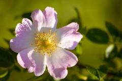 Róża polna