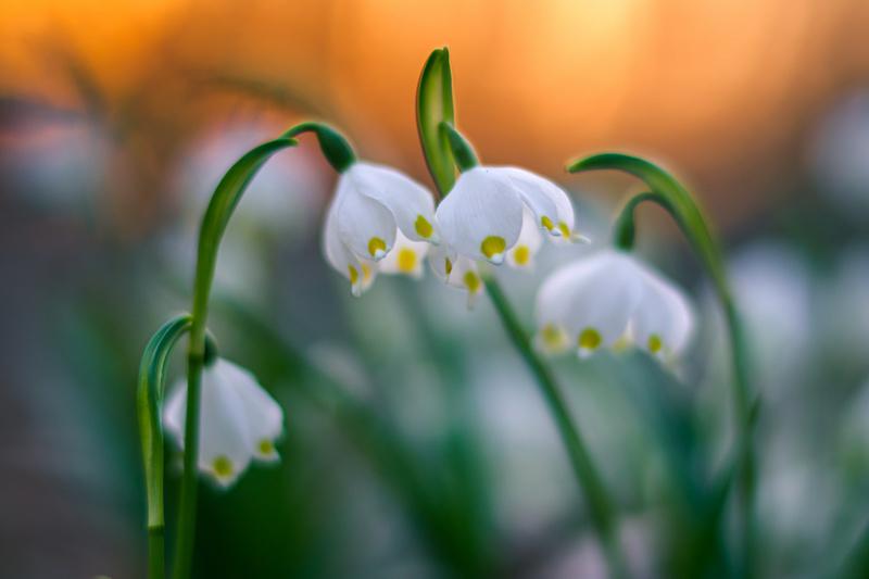 Śnieżyca wiosenna