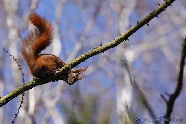 wiewiórka pospolita (ruda)