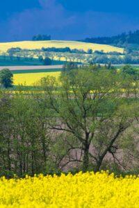 Dolnośłąskie pola wmaju - kwitnące rzepaki