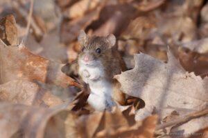 Mysz (Apodemus sylvaticus) - Park Południowy weWrocławiu