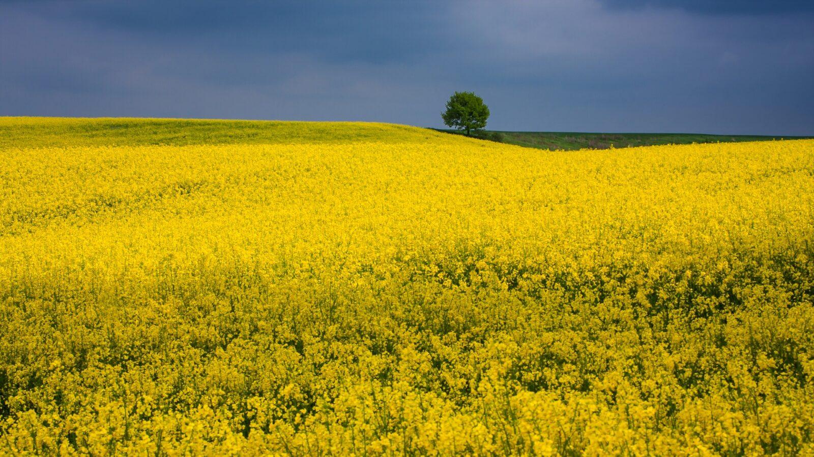 Kwitnący rzepak - Dolny Śląsk