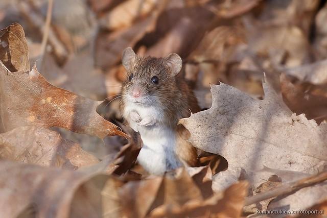 Mysz zaroślowa - Park Południowy weWrocławiu