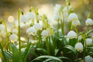 Śnieżyca wiosenna nad Strzegomką