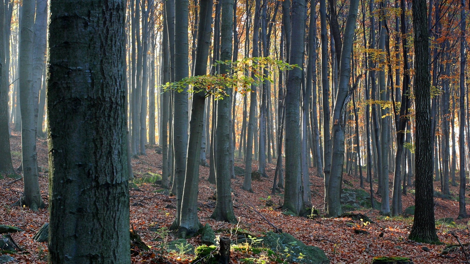 Las Bukowy wGórach Suchych (Góry Kamienne) fot.Krzysztof Romańczukiewicz