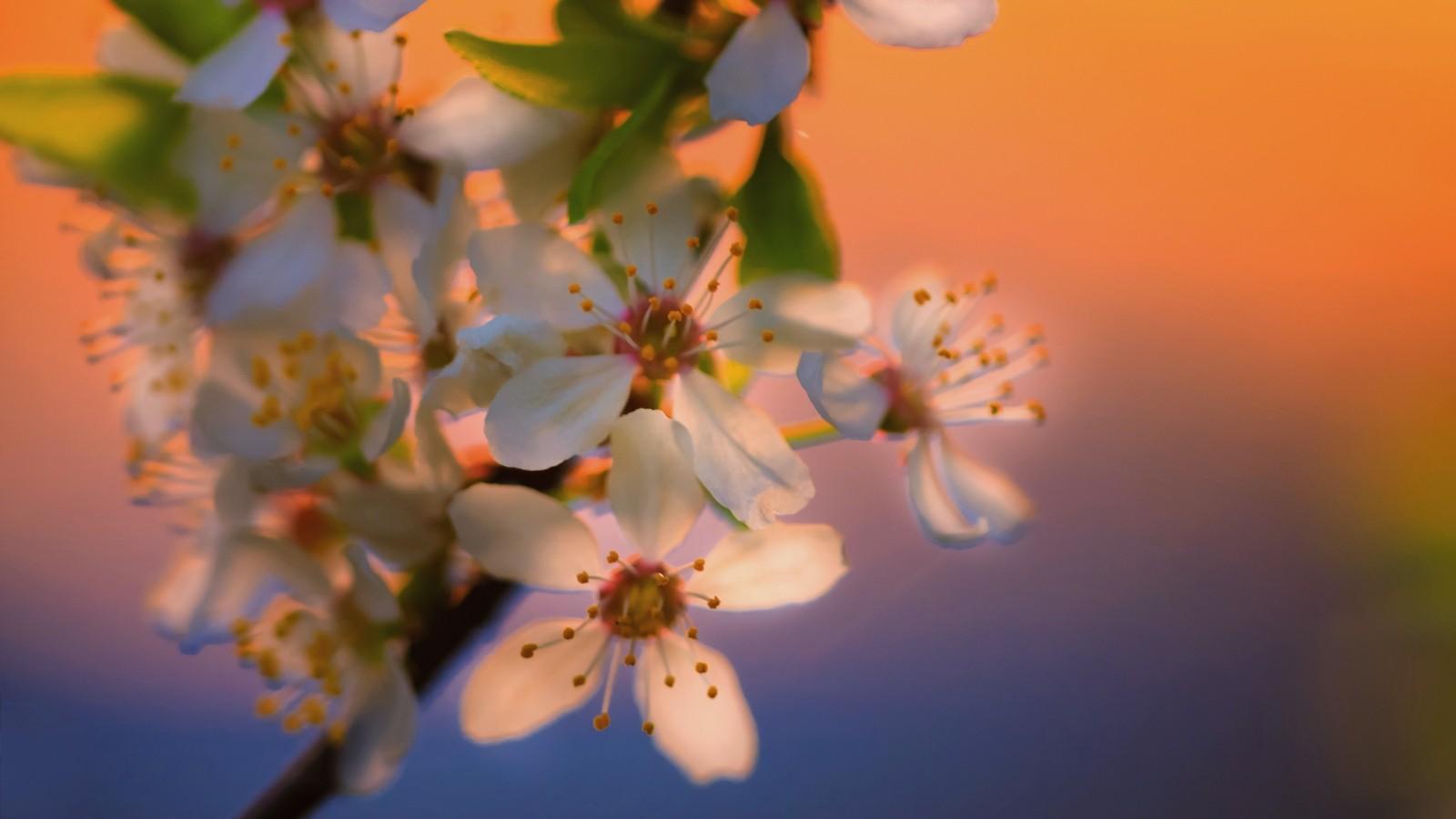 Kwitnąca tarnina