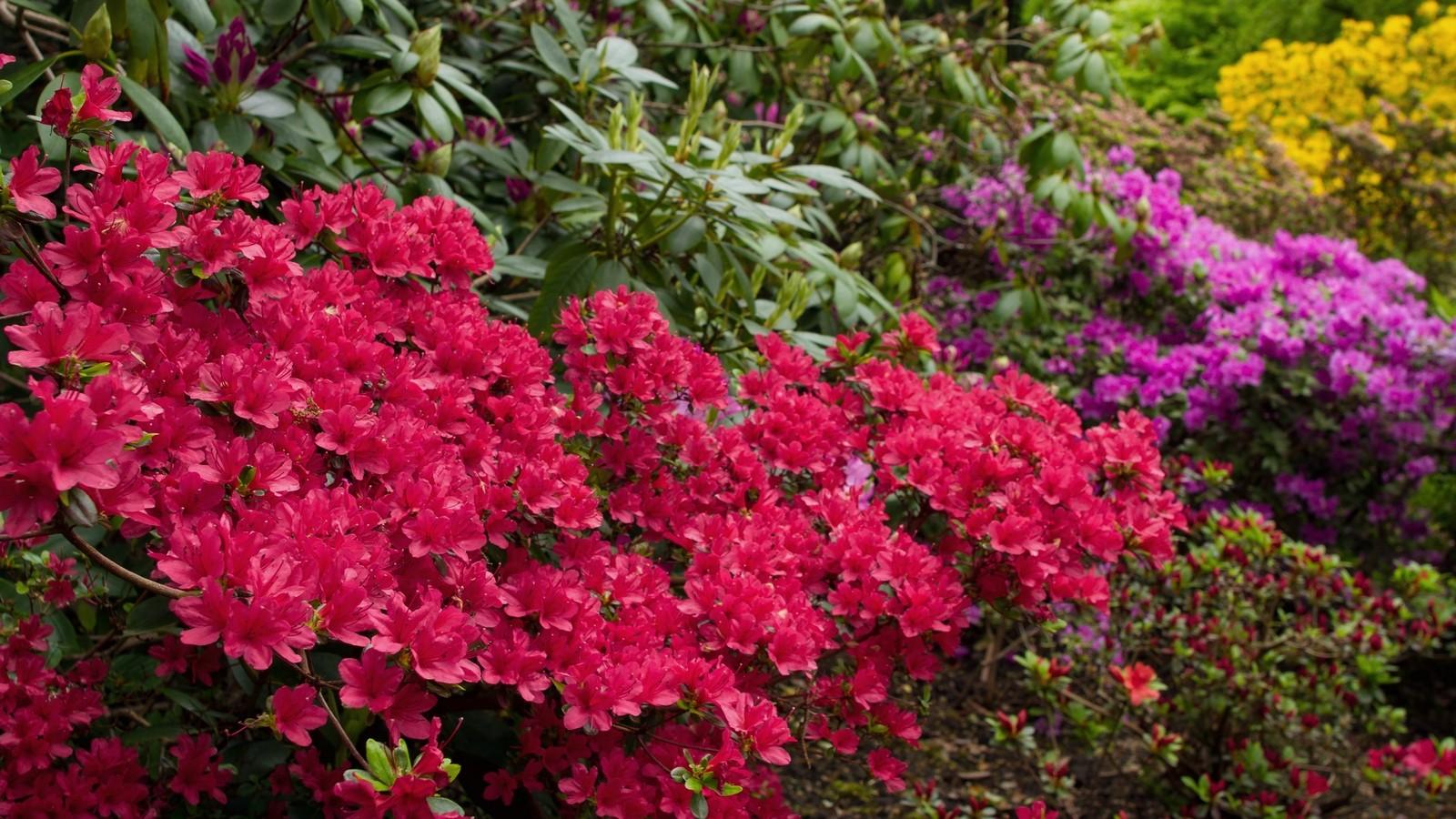 Rododendrony - Ogród Japoński weWrocławiu