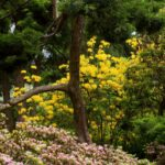 Rododendrony - Ogród Japoński we Wrocławiu