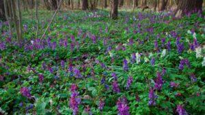 Miodunka i kokorycz w lesie wiosennym