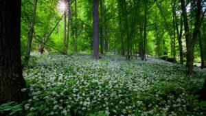 Kwitnący czosnek niedźwiedzi (Allium ursinum)