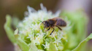 Pszczoła nalepiężniku białym