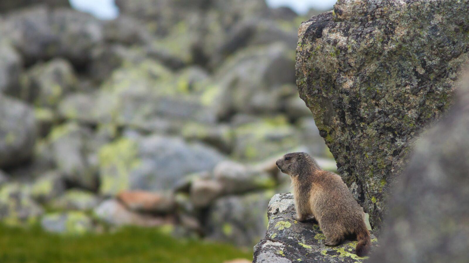 Marmota marmota latirostris