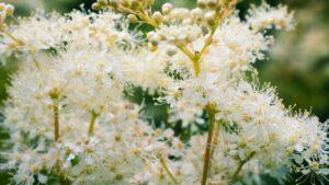 Kwiatostan wiązówki wzbliżeniu