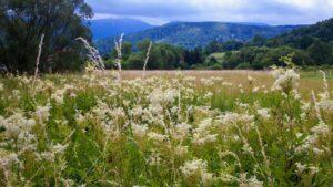 Wilgotne łąki toulubione siedlisko wiązówki