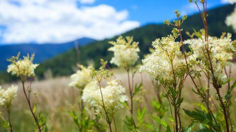 Kwitnącą wiązówka nałąkach podKarkonoszami