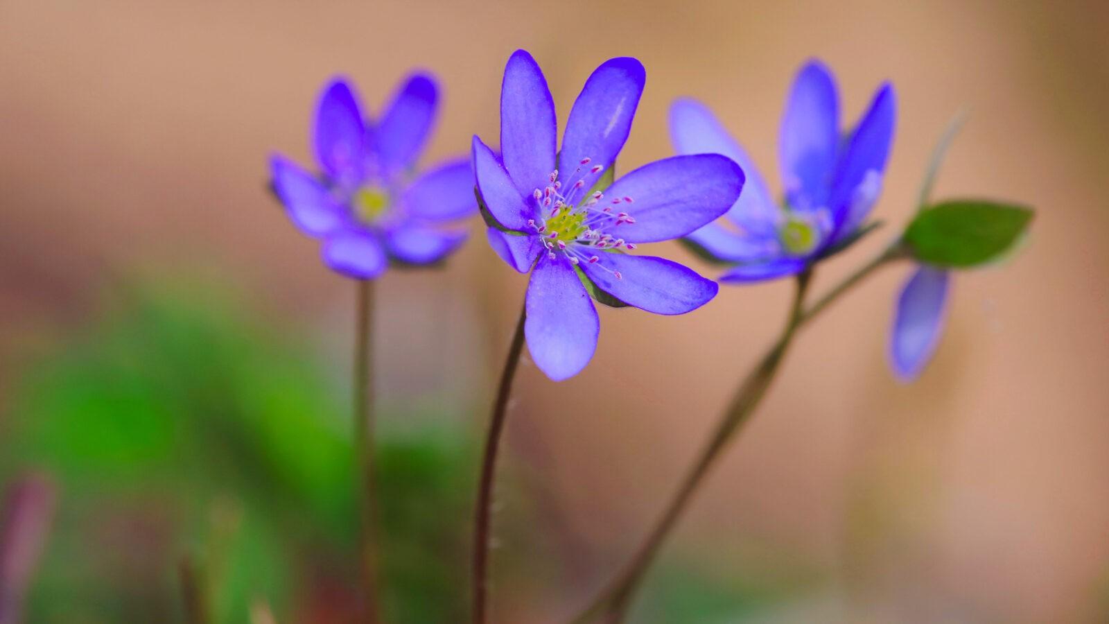 Kwitnące przylaszczki Góry Kaczawskie