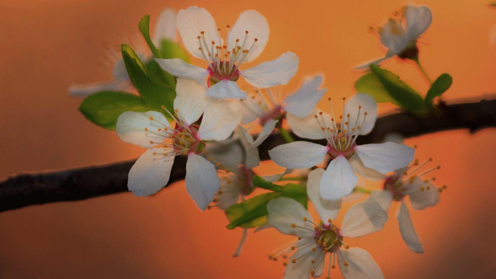 śliwa tarnina -kwiaty