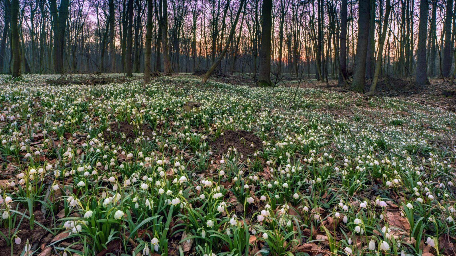 Wiosna w lasach nad Strzegomką. Kwitnąca śnieżyca wiosenna. fot. Krzysztof Romańczukiewicz fotoPort.pl