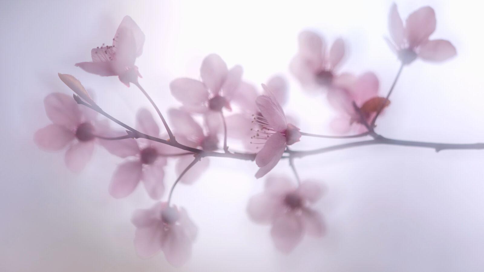 Wiosna. Kwitnąca śliwa wiśniowa