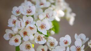 Kwitnąca gruszaPogórze Karkonoskie