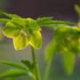 Ciemiernik zielony - pierwszy wśród pierwszych