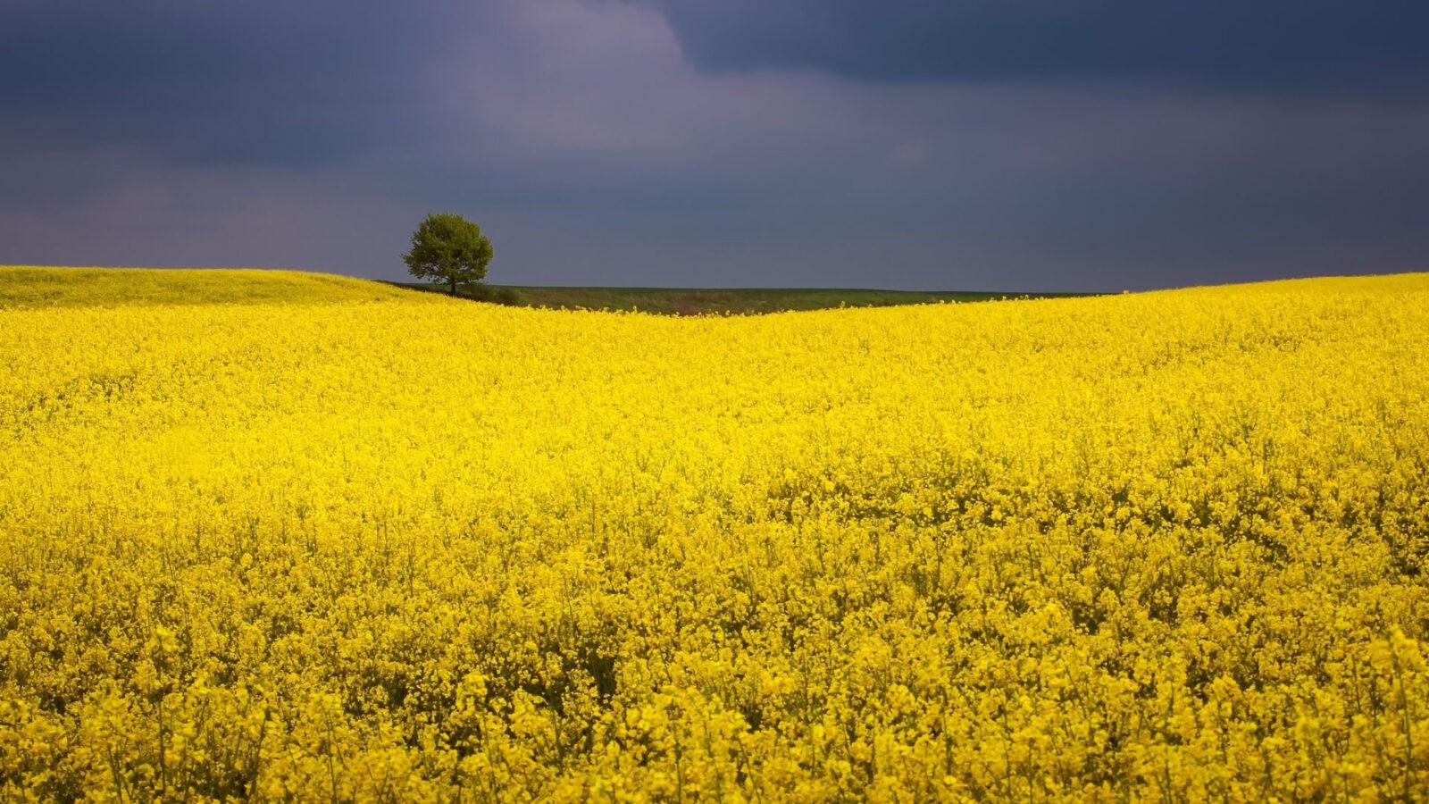 Złote pola